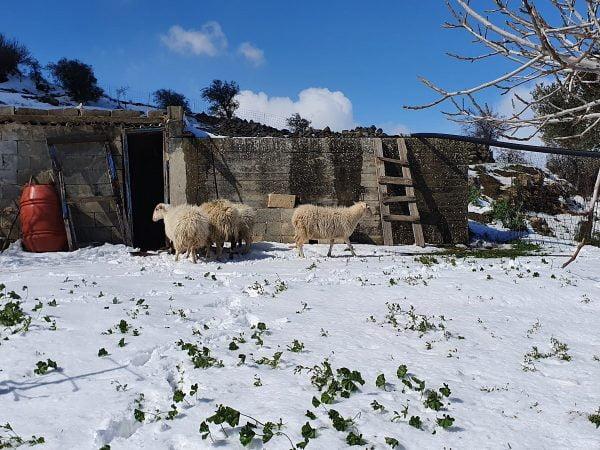 Πρόβατα χιόνια